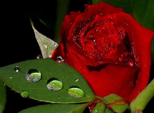 Роза и роса